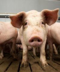 HIT Schweinemeldungen über top farmplan erledigen